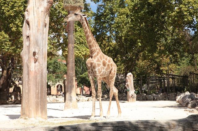 žirafa v zoo