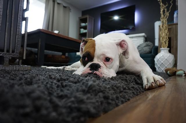 boxer na koberečku